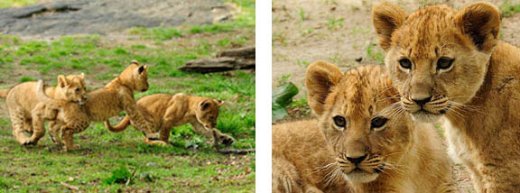 Lion cub triplets, Bronx Zoo, Wildlife Conservation Society, Species Survival Plan, naming contest,