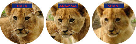 cub naming contest, Bronz Zoo, lion cub triplets, Wildlife Conservation Society, cub naming results,