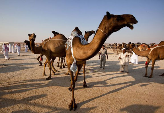 Camels, camel milk cheese, camel pageants, Middle East, adventure holidays,