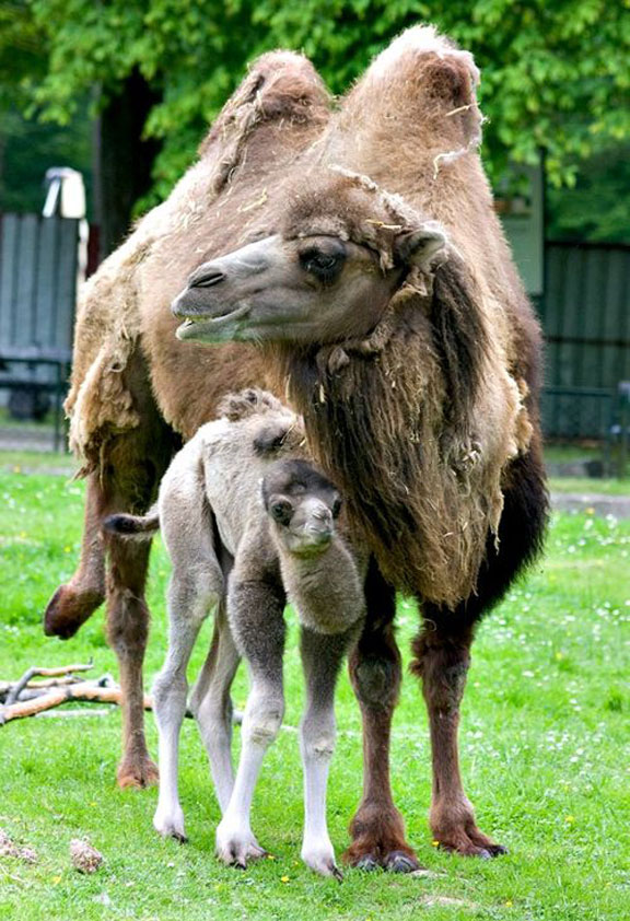 camels, camel newborns, baby bactrian camels, zoo births, baby animals